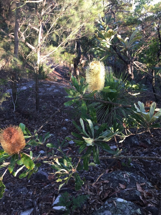 This year and last years Banksia