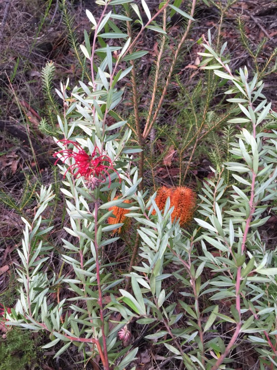 Grevillea Punicea with Banksia
