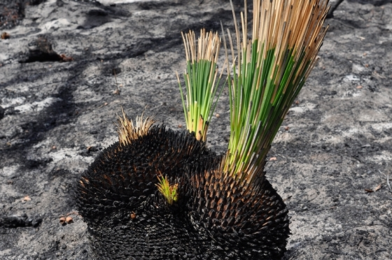 peel-biolink-yarloop-fires-vigorous-new-growth-of-xanthorrhoea-pressii-_790_525_s_c1